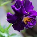 写真: フリルビオラ 紫