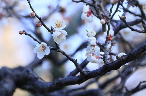 写真: 白梅(2)