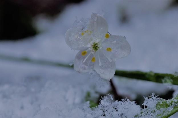 バイカオウレン 雪