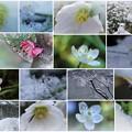 写真: 2月の花と雪