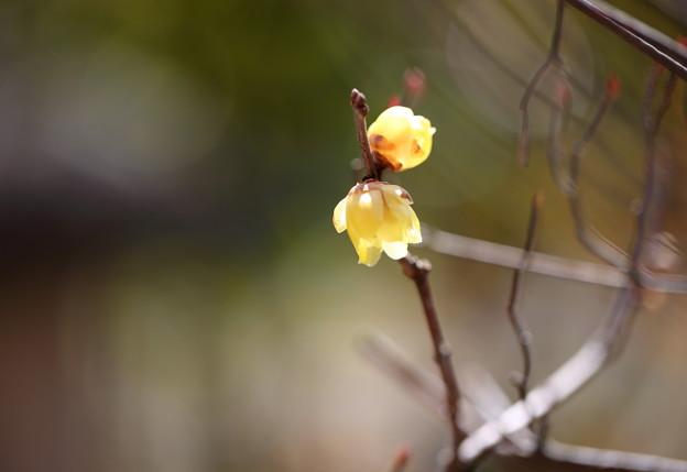 蝋梅が開花