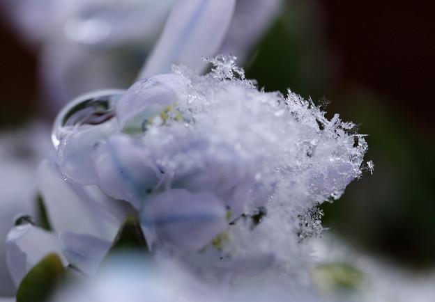 シラーチューベルゲニアナ 3月の泡雪(2)