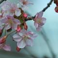 河津桜が開花(1)