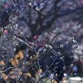 写真: シデコブシ  兼六園梅林
