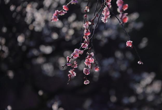 枝垂れ梅 兼六園梅林