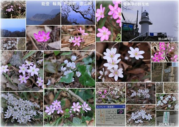 写真: 能登輪島 門前町猿山岬 雪割草(スハマソウ)