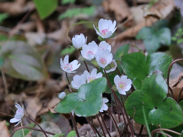 写真: 雪割草 ピンクの蕊(1)