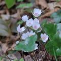 雪割草 ピンクの蕊(1)