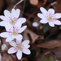 写真: 雪割草 ピンクの蕊(2)