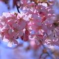 満開の河津桜(1)