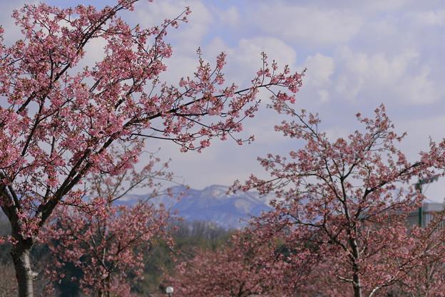 満開の河津桜 山並み