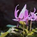 カタクリ(2) 春の妖精
