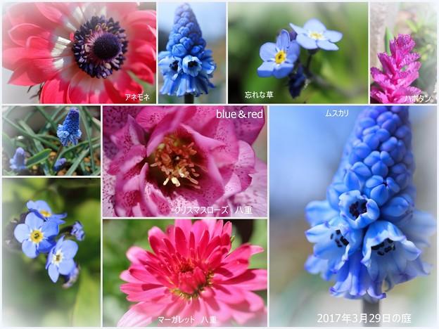 庭の3月の花(1) blue&red