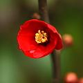 木瓜(ボケ)が一輪開花(1)