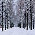 写真: 雪の並木道  メタセコイア