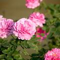 写真: バラ畑