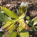 写真: 不明植物170212_3(ヤフー知恵袋で質問し、千両と判明)