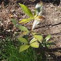 写真: 不明植物170212_2(ヤフー知恵袋で質問し、千両と判明)