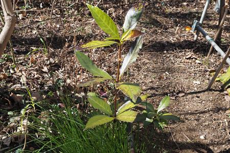 不明植物170212_1(ヤフー知恵袋で質問し、千両と判明)