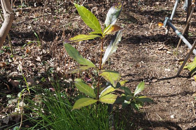 写真: 不明植物170212_1(ヤフー知恵袋で質問し、千両と判明)