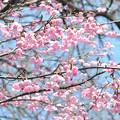 写真: 桜 20170329_2