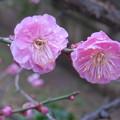 Photos: 梅に雨。