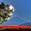 Photos: サルビアと富士