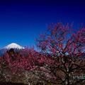 写真: 梅と富士山