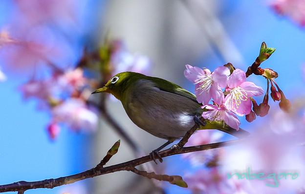 河津桜とメジロン-22