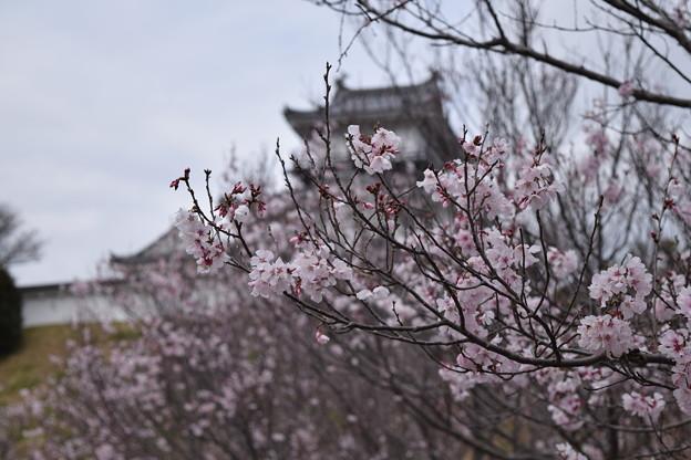 5分咲きソメイヨシノ
