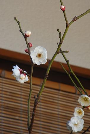 しばられ地蔵の梅