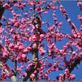 Photos: 梅が香とて
