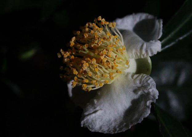 ひっそりと茶の花