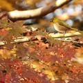 Photos: メジロだって紅葉狩り