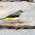 写真: お腹の黄色を見てよ!