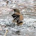 写真: シロハラの水浴び場