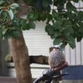 写真: 都会のヒヨは自転車がお好き