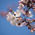 写真: 開花宣言 神戸から