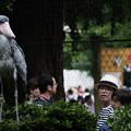Photos: ハシビロコウ-5898