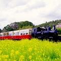 長閑に走って。。菜の花畑を小湊鉄道トロッコ列車。。20160409