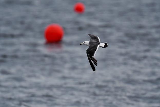 レッドブルエアレース。。海鳥もエアレース。。(笑) 20160605