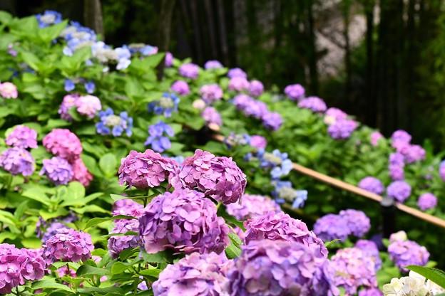 長谷寺の裏山に咲く紫陽花。。20160624