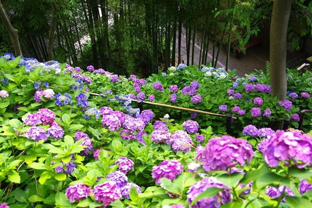 長谷寺の竹と綺麗な紫陽花。。20160624