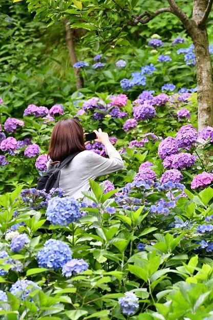 夢中になる。。長谷寺の紫陽花 20160624