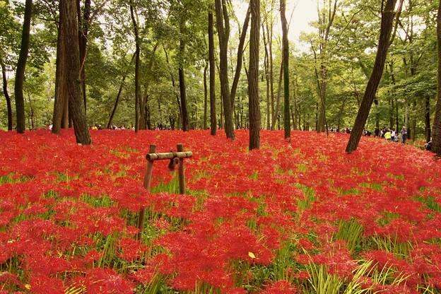 撮って出し。。見ごろ迎えて高麗の巾着田 曼珠沙華 赤く染まる 9月25日