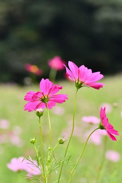 撮って出し。。これから秋へ。。くりはま花の国のコスモス 10月2日