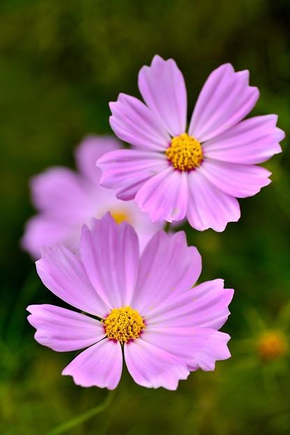 撮って出し。。綺麗にピンクの色のコスモス 10月2日