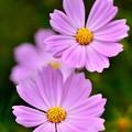 Photos: 撮って出し。。綺麗にピンクの色のコスモス 10月2日