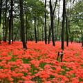 真っ赤に咲く曼珠沙華 彼岸花。。巾着田 20160925