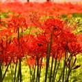 どこもかしこも赤く咲く曼珠沙華。。巾着田 20160925